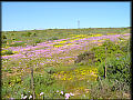 Namaqualand Wild Flowers In Season Time